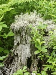 River Stump