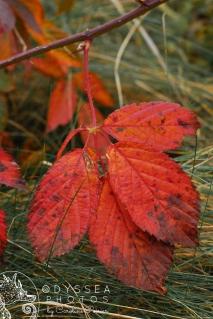 Englishtown Red Leaves