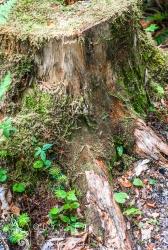 Overgrown Stump