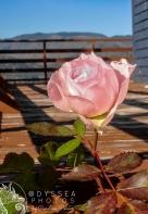 Rose of Englishtown