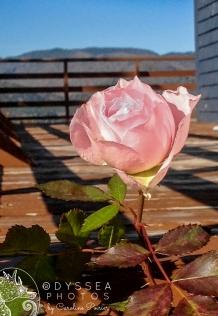 Englishtown Pink Rose